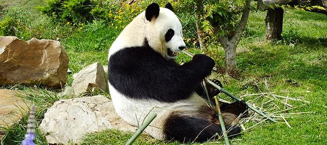 pandas-zoo-beauval-grand-reportage-tf1-loicsimon-my-loire-valley