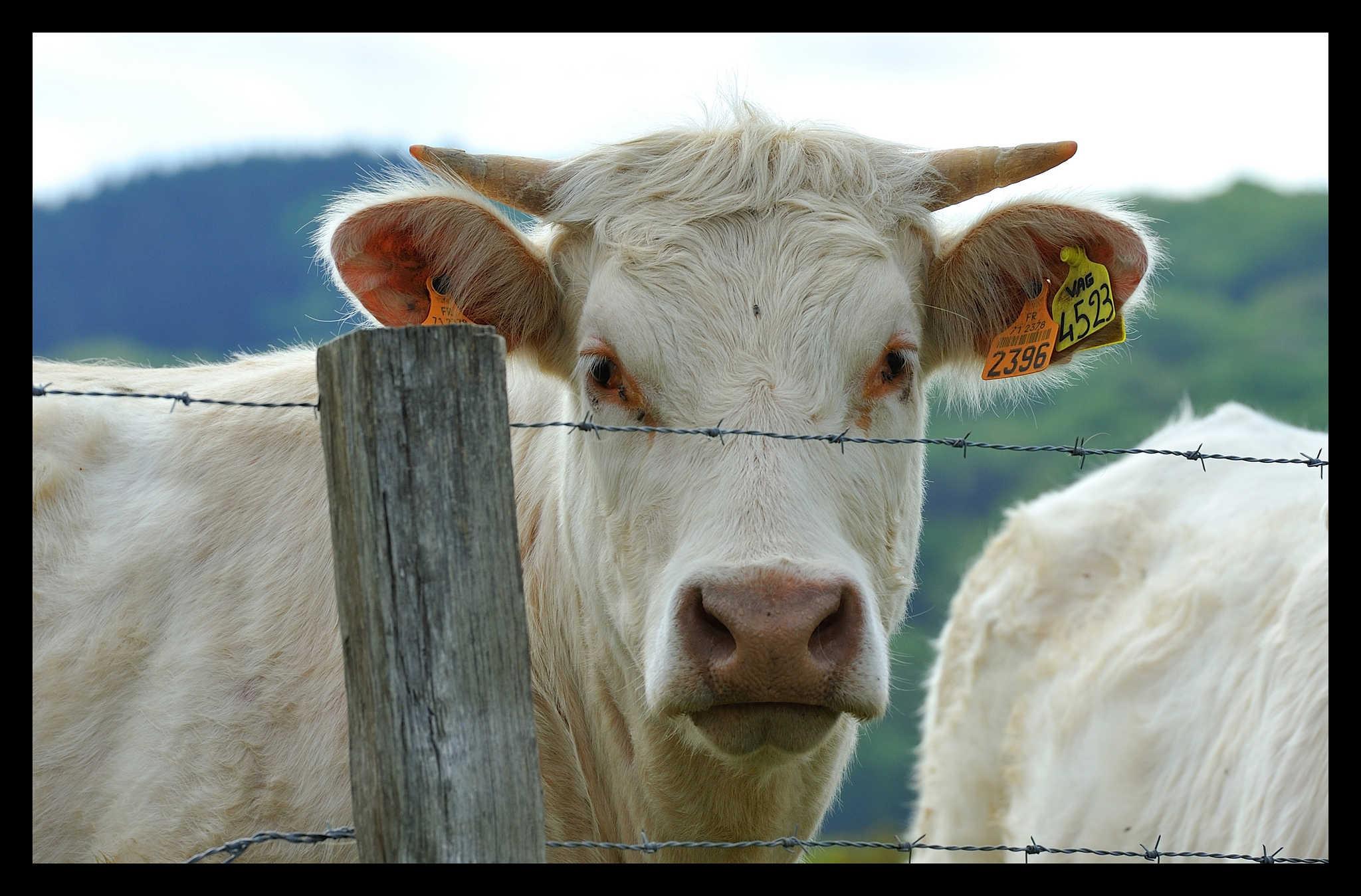 La Charolaise, la vache aux saveurs de la Nièvre | Val de