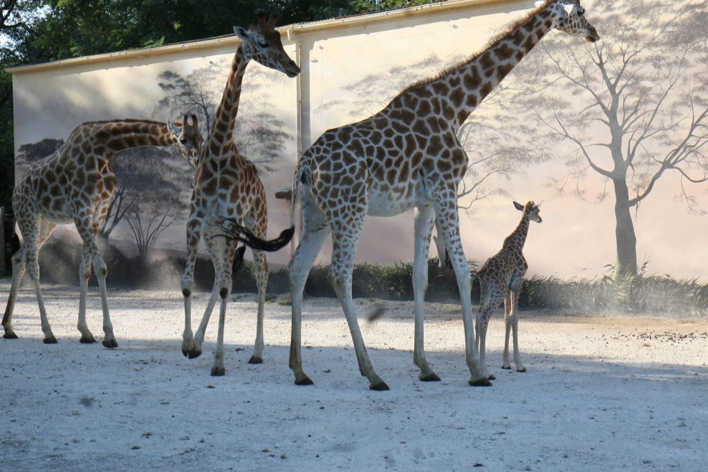 Zoo de la fleche - girafes