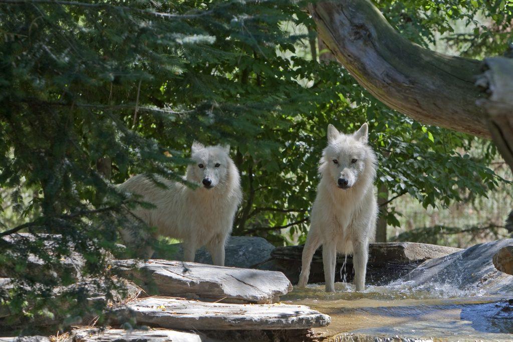 zoo de la fleche - loups