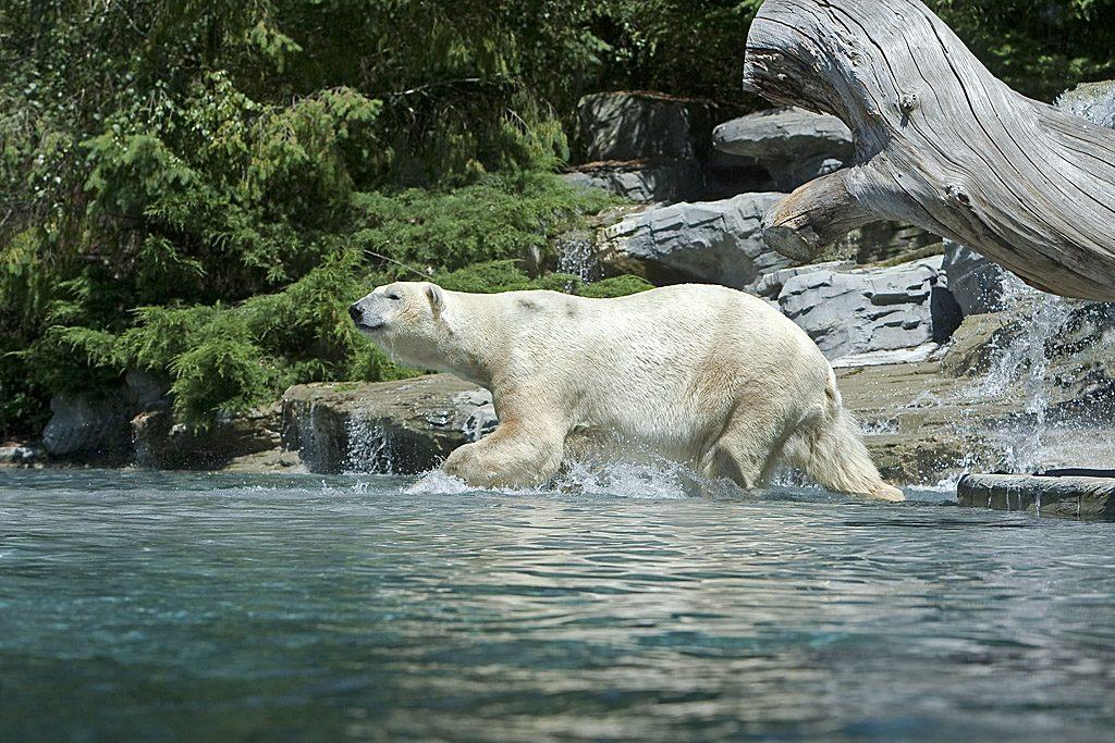 zoo de la fleche - ours polaire