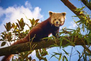 zoo de la fleche - panda roux