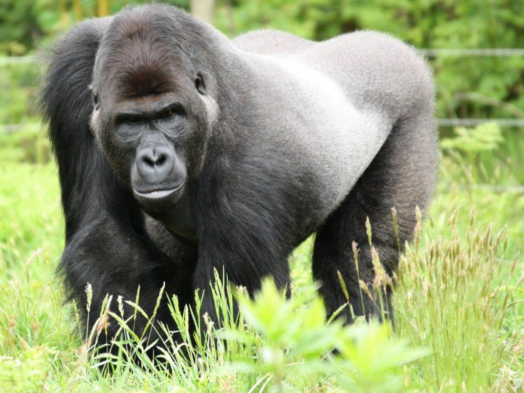 Gorille Zoo de La Boissière-du-Doré