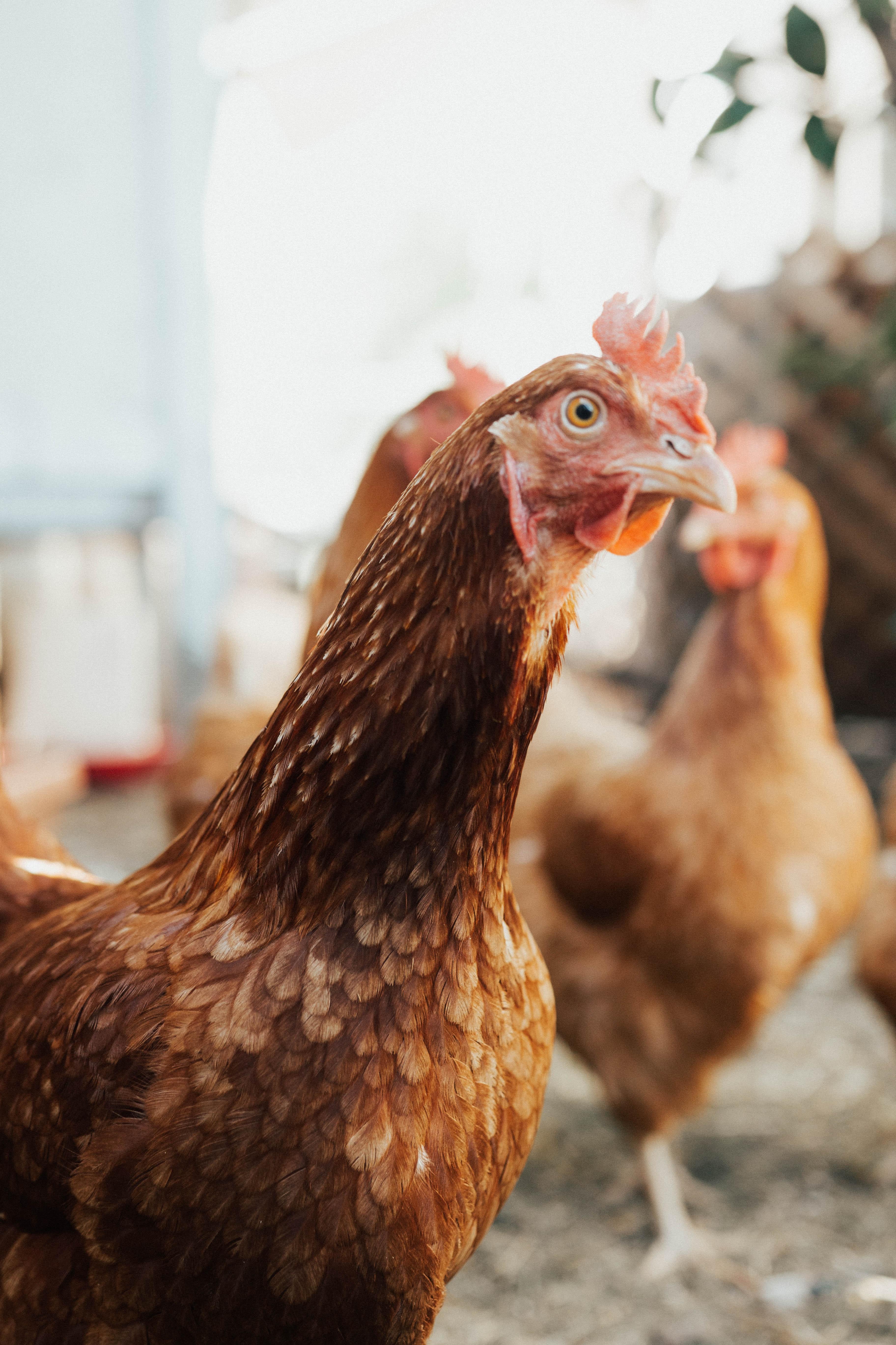 Elevage poulet au château d'Amboise