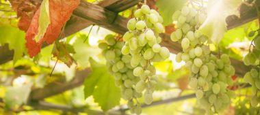 Le vignoble de Venesmes, au cœur du Berry
