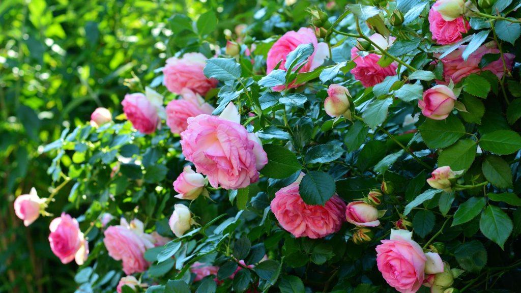 roseraie rose