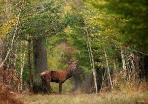 Cerf Forêt Chambord